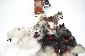 ced-sled-dog-team